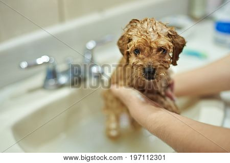 Washing dog salon. Brown poodle puppy in grooming salon