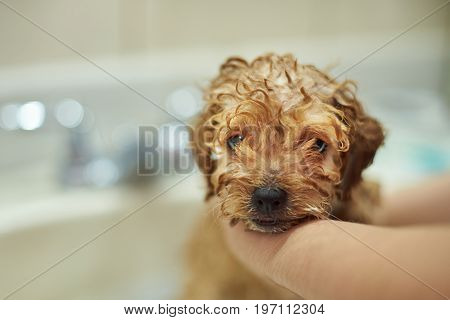 Portrait of cute poodle puppy taking shower