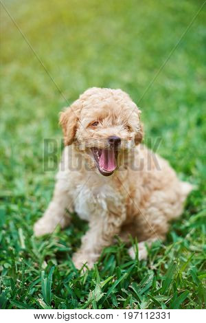 Happy poodle puppy sitting on green grass background
