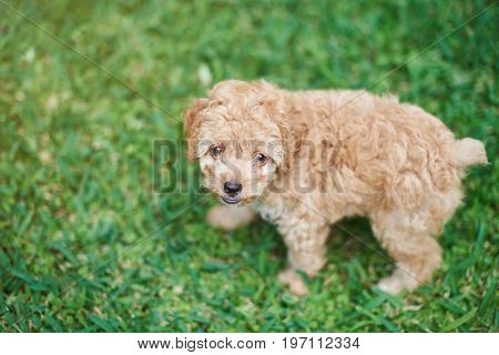 Small brown poodle puppy staying on blurred green grass background
