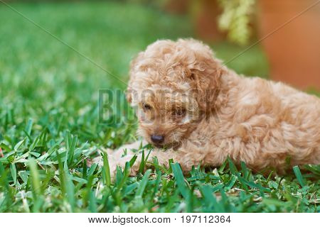 Cute poodle puppy close-up laying on green grass background