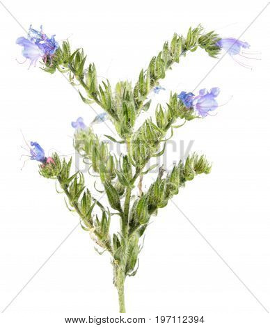 Blueweed (Echium vulgare) isolated on white background. Medicinal plant