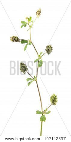 Hop trefoil (Medicago lupulina) with fruits isolated on white background. Medicinal plant