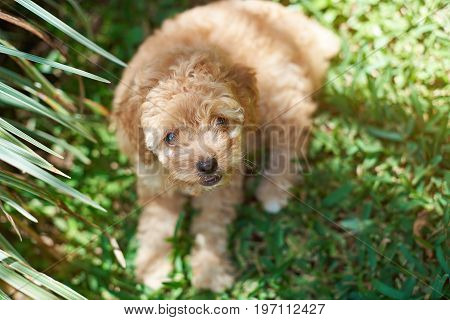 Cute brown poodle puppy lay on green grass background