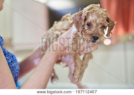 Cute puppy in soap bubbles. Woman washing small puppy dog