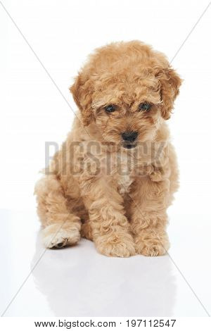 Adorable sitting brown poodle puppy isolated on white background