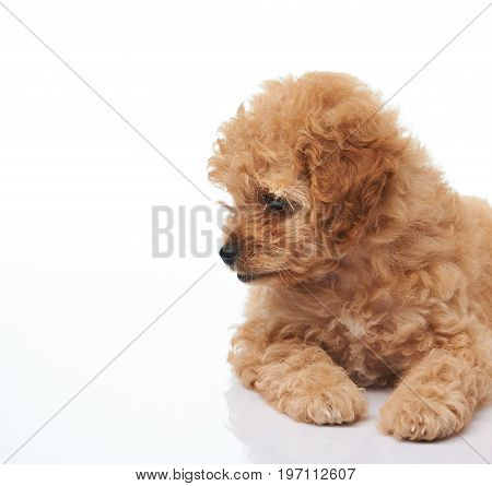 Golden color poodle puppy lay on white background isolated