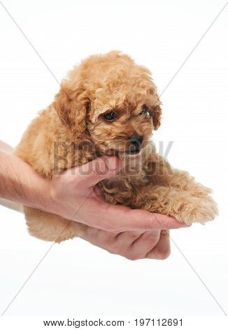 Puppy lay on human hands isolted on white background. Poodle puppy gift