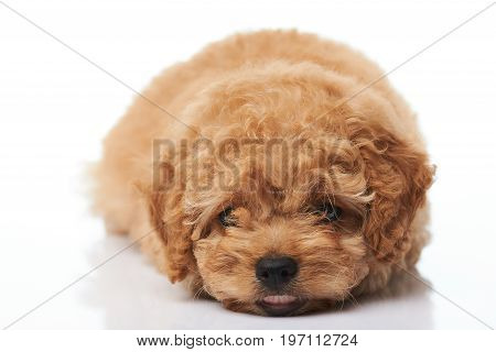 Adorable small puppy isolated on white background. Poodle puppy lay on white background