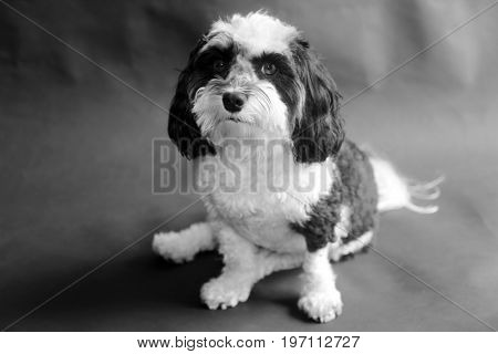 Black and white Havanese dog on a black seamless background.