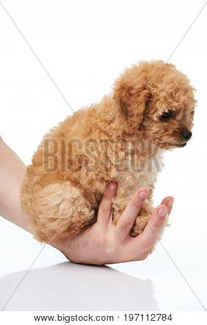 Hand hold poodle puppy isolted on white background close-up