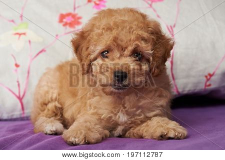 Brown cute poodle puppy laying on house bed close up
