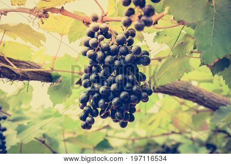 Grape cluster hanging on the vine - vintage (retro) style color effect with soft focus