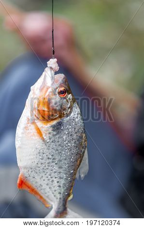 View on piranha on fishing rod by Amazonas is Brazil