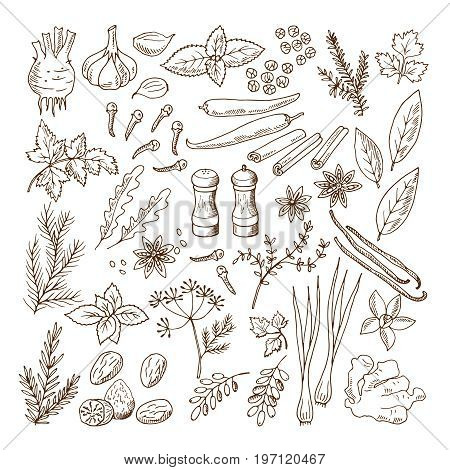 Hand drawn illustrations of different herbs and spices. Vector pictures set isolate on white. Herb spice ingredient, natural organic rosemary and mint
