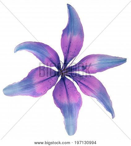 Lily blue-pink flower. Isolated object with clipping path on a white background. Beautiful six-petalslily lily for design. Closeup. Nature.