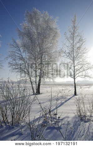 birch trees in hoarfrost against background of blue sky and sun. Winter forest