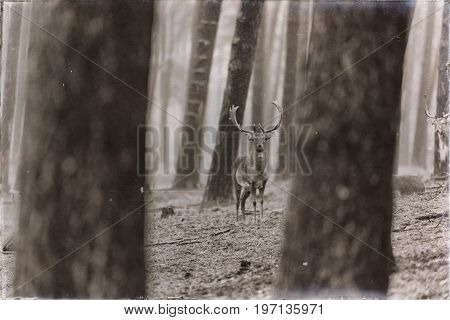 Classic Sepia Photo Of Fallow Deer Buck In Rainy Pine Tree Forest.