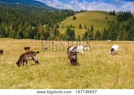 Natural summer landscape with grazing goats on flower fields in Carpathian mountains in Ukraine. Mountain valley during cloudy summer middle day.