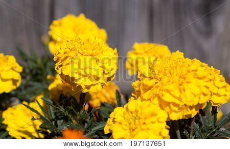 yellow flowers Marigold background for graphic design.