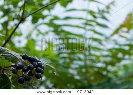 ash berry with leafs on sky background for graphic design.