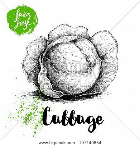 Hand drawn sketch cabbage. Fresh farm vegetables vector illustraion.