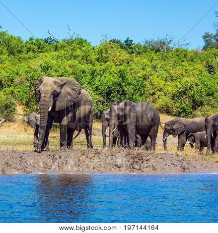 The concept of exotic tourism. Elephants are located on the river bank. Watering in the Okavango Delta. Chobe National Park in Botswana