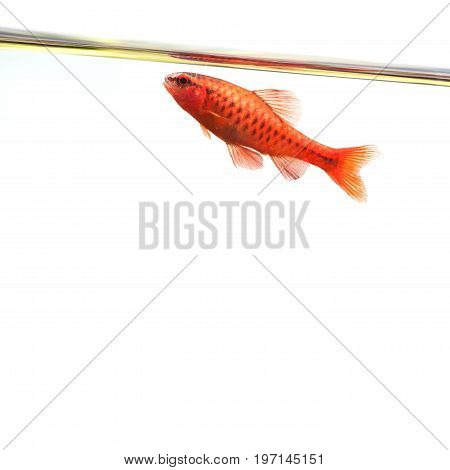 Dominant cherry barb male fish. Tropical freshwater aquarium water surface on white background. Puntius titteya belonging to the family Cyprinidae.