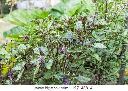 Purple flowers blossoming basil outdoors close-up natural background