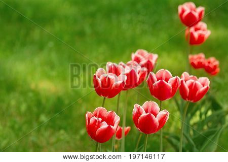 Red tulips have a white border. Group of tulips on green blurred background. Summer background with blurs and refelctions.