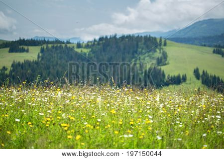 Beautiful Meadow Field With Wildflowers Against The Background Of Mountains With Clouds