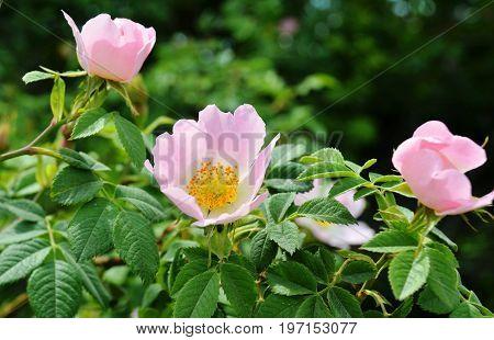 Flowering branch on a bush of wild rose (lat. Rose), closeup