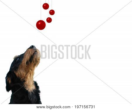 Dog breed German hunting terrier looking up at red balls