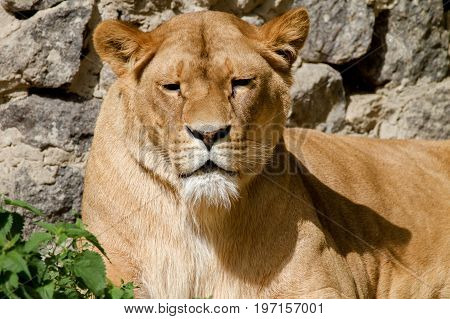 Image An animal is an adult lioness lying and staring