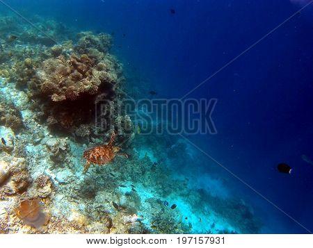 Tropical Coral Reef Aquatic Turtle in Indian Ocean