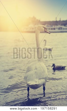 Prague. Swans on the Vltava River . retro effect