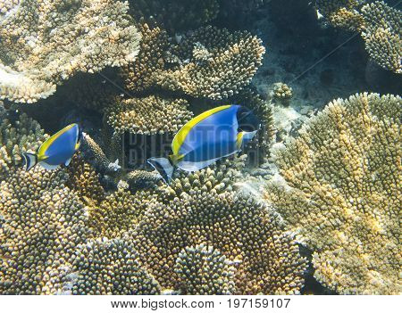 Powder blue tang (Acanthurus leucosternon) over a coral reef the Indian Ocean
