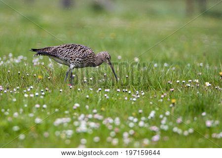Curlew (Numenius arquata) hunting in wet daisy covered pasture in the rain