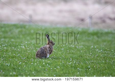 Brown Hare (Lepus europaeus) alert and sitting in a daisy covered field with shallow depth of field