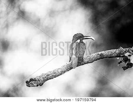 Classic Black And White Photo Of Common Kingfisher Perched On Branch With Fish In Beak.