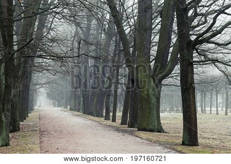 Bare Trees Grow In A Rows Along Park Road In Fog