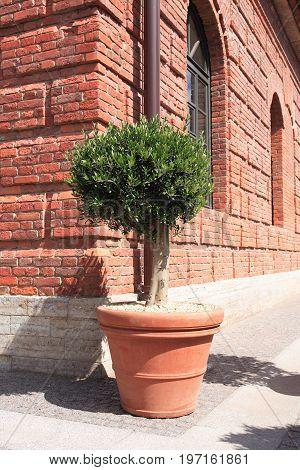 Nice plant in big clay pot near old brick building under sunlight
