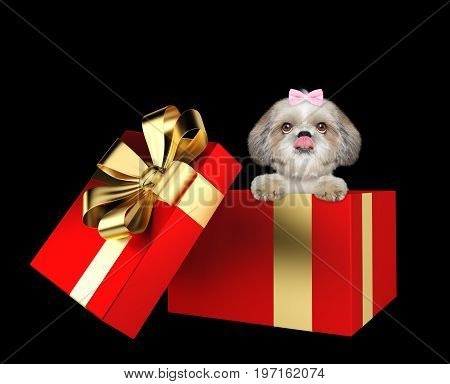 Cute shitzu dog in a red present box isolated on black background
