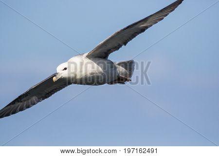 Close up of Fulmar (Fulmarus glacialis) in flightflying to left of frame