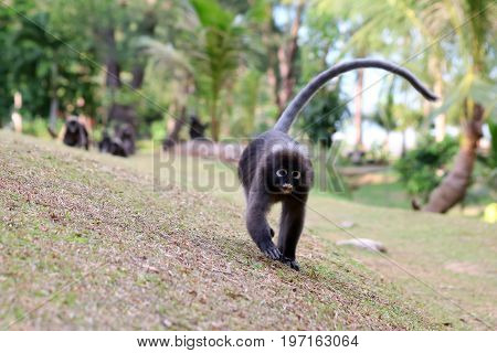 Monkey walk in the garden Dusky langur wildlife animals in Thailand.
