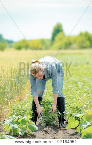 Hard Working woman agronomist working in a field checks eco growing potatoes