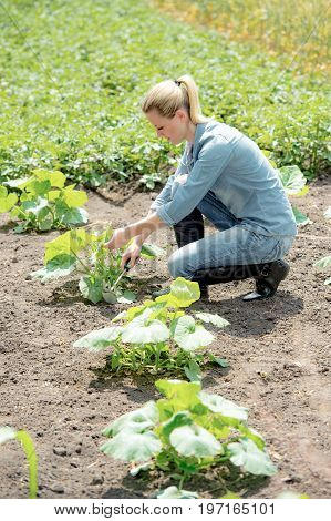 young woman agronomist working in field checks eco growing pumpkin takes off the weeds