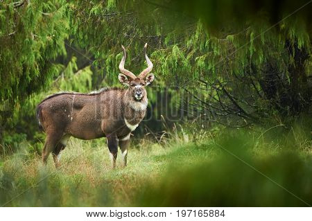 The mountain Nyala is an endangered antelope of a small part of ethiopia.