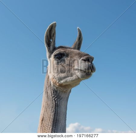 Low angled view of a Llama and its long neck