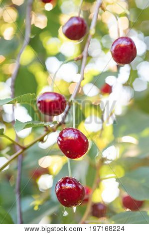 Branch of cherry tree with red ripe cherries close-up. Natural background